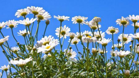 chamomile, flowers, greenery