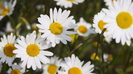 chamomile, flowers, many