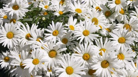 chamomile, flowers, much