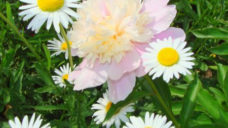 chamomile, flowers, peony
