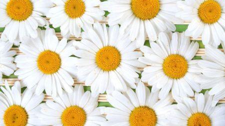 chamomile, flowers, petals