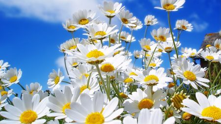 chamomile, flowers, summer
