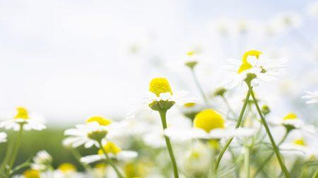 chamomile, sky, grass