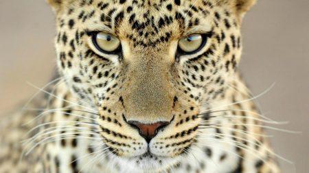 cheetah, face, aggression