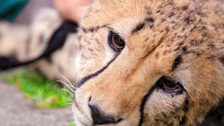 cheetah, face, eyes