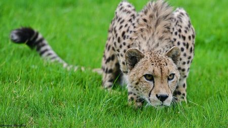 cheetah, grass, hunting
