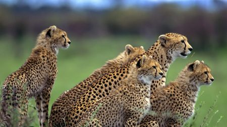 cheetah, herd, lot