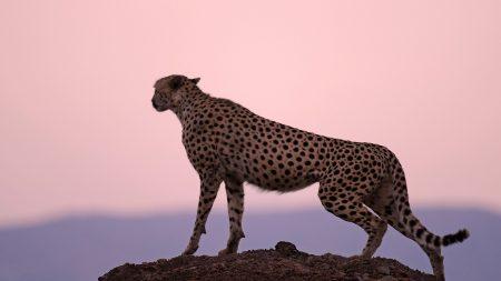 cheetah, predator, sunset