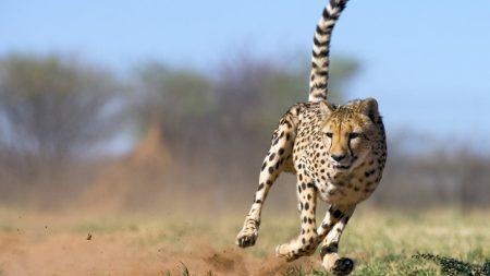 cheetah, runs, grass