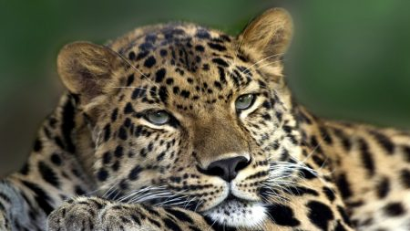 cheetah, spotted, eyes