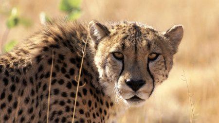 cheetah, waiting, grass