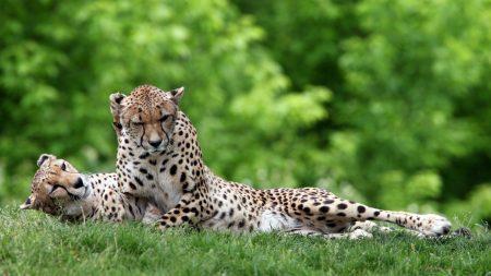 cheetahs, couple, grass