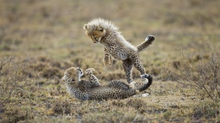 cheetahs, cubs, fighting
