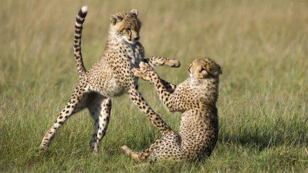 cheetahs, cubs, game