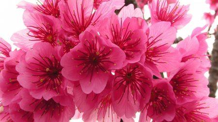 cherry, blossom, pink