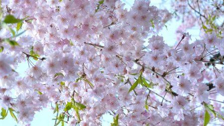 cherry, blossom, spring