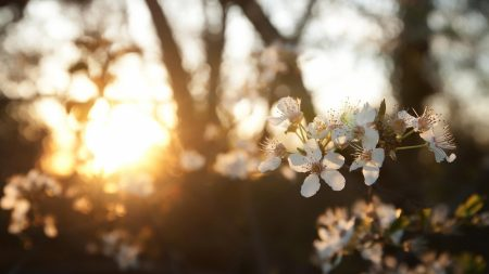 cherry, flowers, dawn