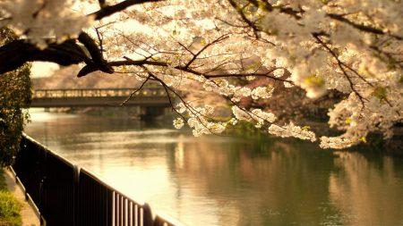 cherry, tree, bridge