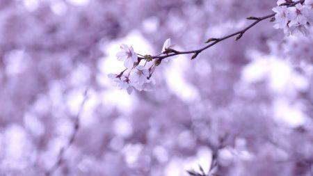 cherry, twig, sakura