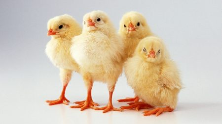 chickens, small, many