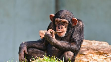 chimpanzees, small, sit