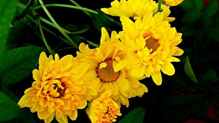 chrysanthemum, bouquet, yellow