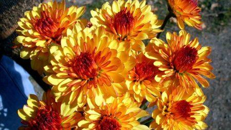 chrysanthemum, flowers, bright