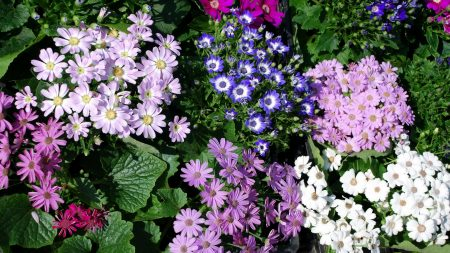 chrysanthemum, flowers, many