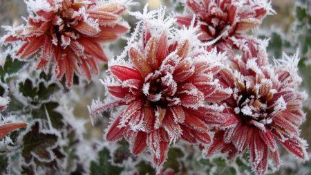 chrysanthemum, flowers, nature