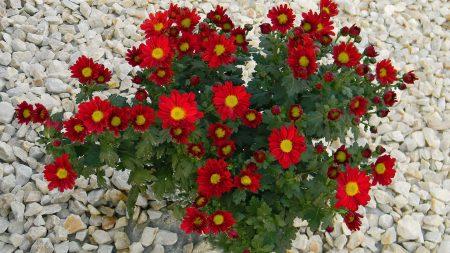 chrysanthemum, flowers, red