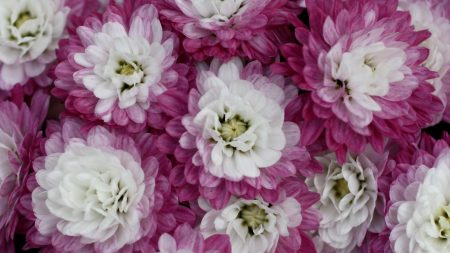 chrysanthemums, bi-color, petals