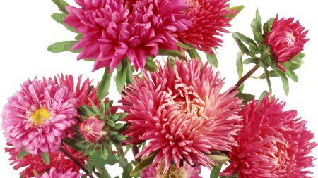 chrysanthemums, flowers, bunch