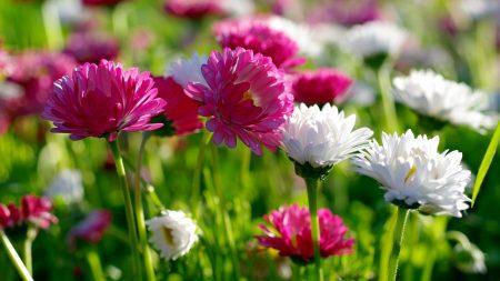 chrysanthemums, flowers, field