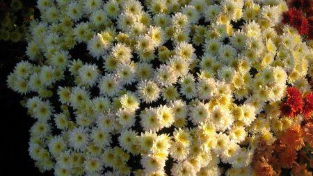 chrysanthemums, flowers, flowerbed