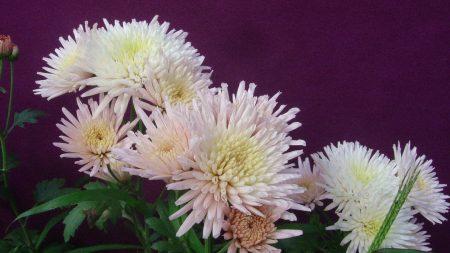 chrysanthemums, flowers, herbs