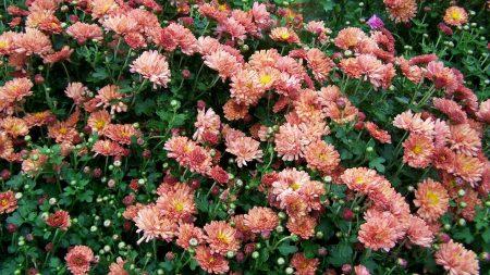 chrysanthemums, flowers, lots