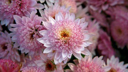 chrysanthemums, flowers, pink