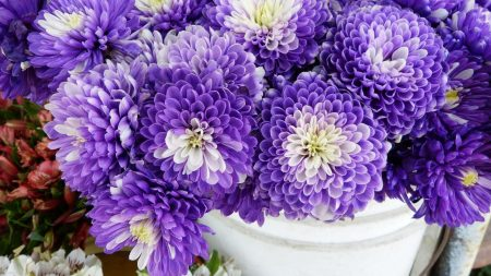 chrysanthemums, flowers, two-color