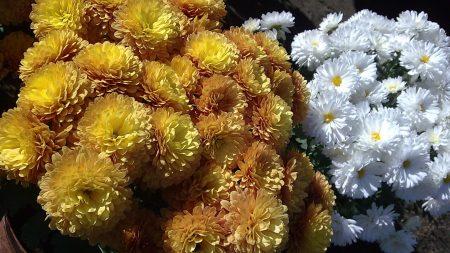 chrysanthemums, flowers, white