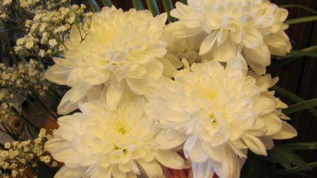 chrysanthemums, gypsophila, flowers