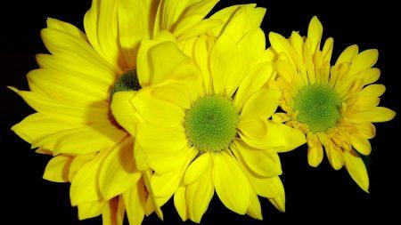chrysanthemums, yellow, flowers