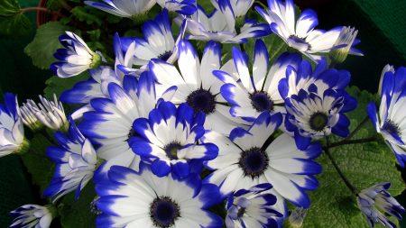 cineraria, flower, bright