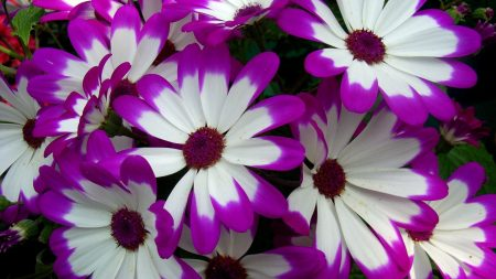 cineraria, flowers, bright