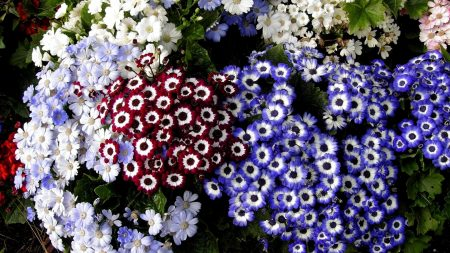 cineraria, flowers, colorful