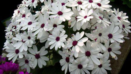 cineraria, flowers, flowerbed