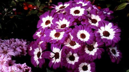 cineraria, flowers, two-color