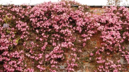 clematis, flowering, wall