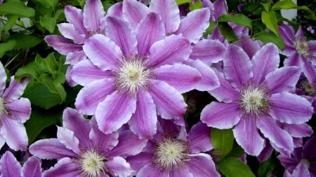 clematis, flowers, colorful