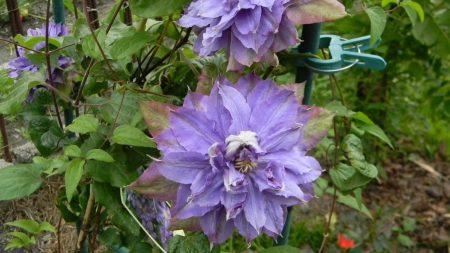 clematis, flowers, garden