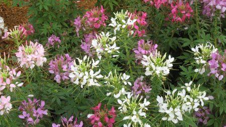 cleomenes, flowers, herbs